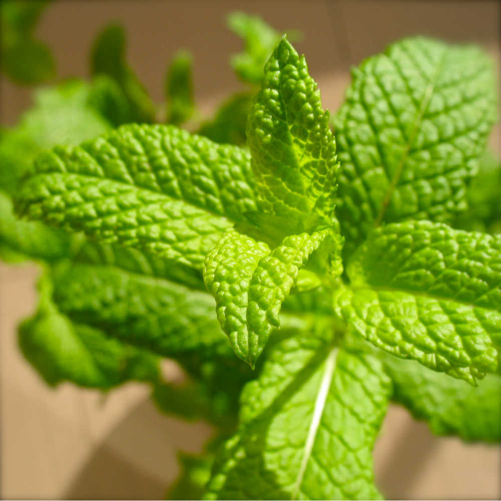 Growing mint in cutting from pots - the easiest way to propagate and grow mint in containers indoors and outdoors. An awesome plant science experiment for kids. And provides a ready supply of fresh mint for herbal tea, cool mint drinks and all your favourite mint recipes #mint #herb #herbgarden #gardening