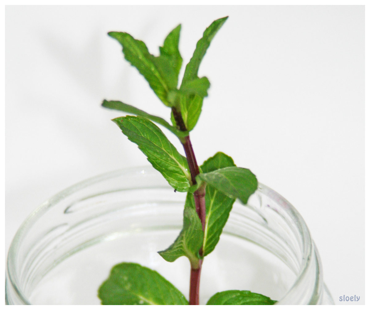 Growing mint in water - a great way to grow mint in the kitchen and a super simple, fun gardening activity with kids #mint #herb #herbgarden #gardening