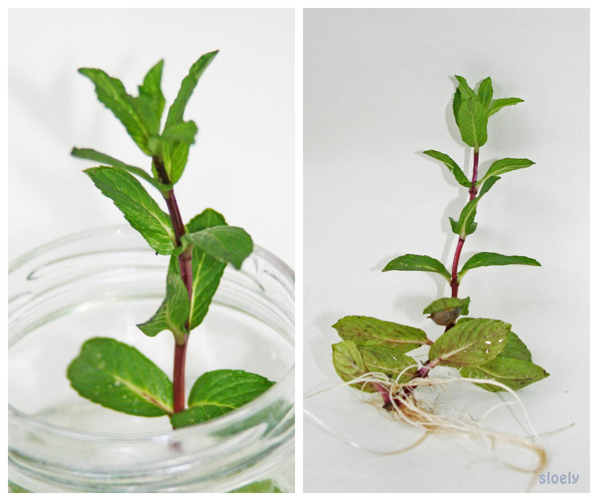 Growing mint in water and watching it root
