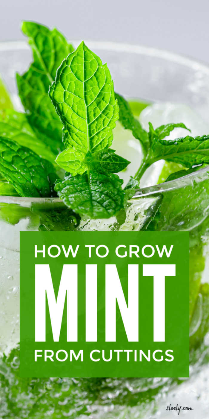 Grow Mint From Cuttings