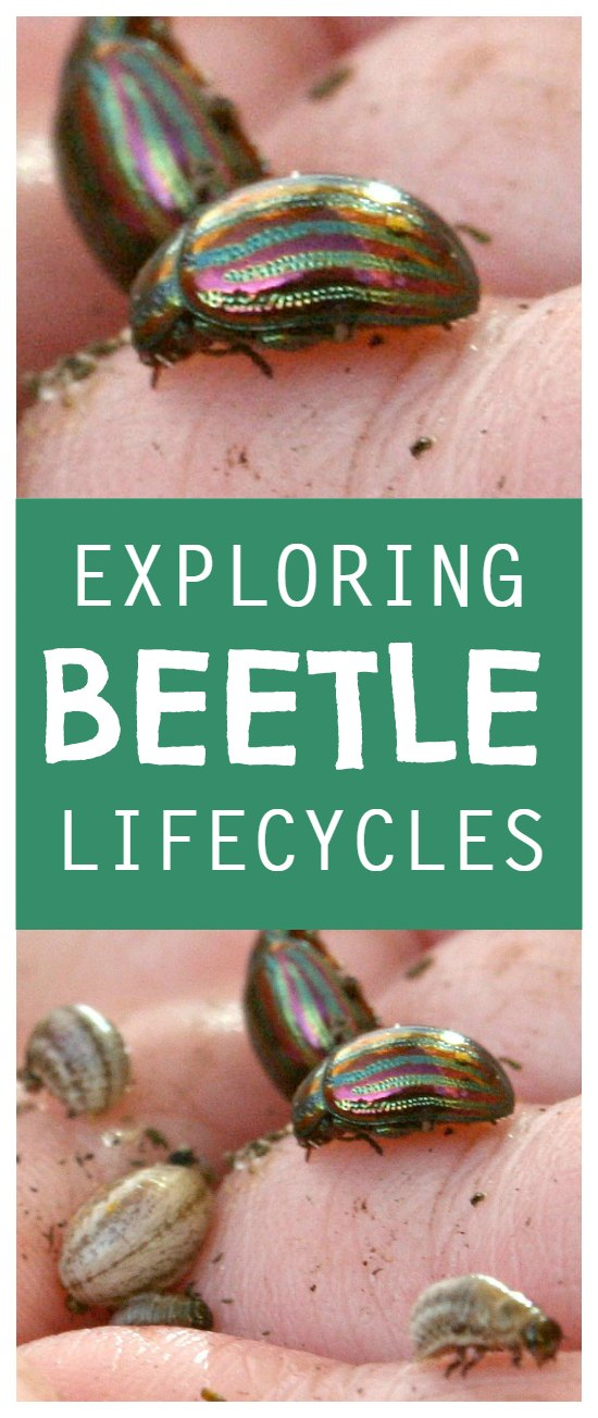 Beetle lifecycles