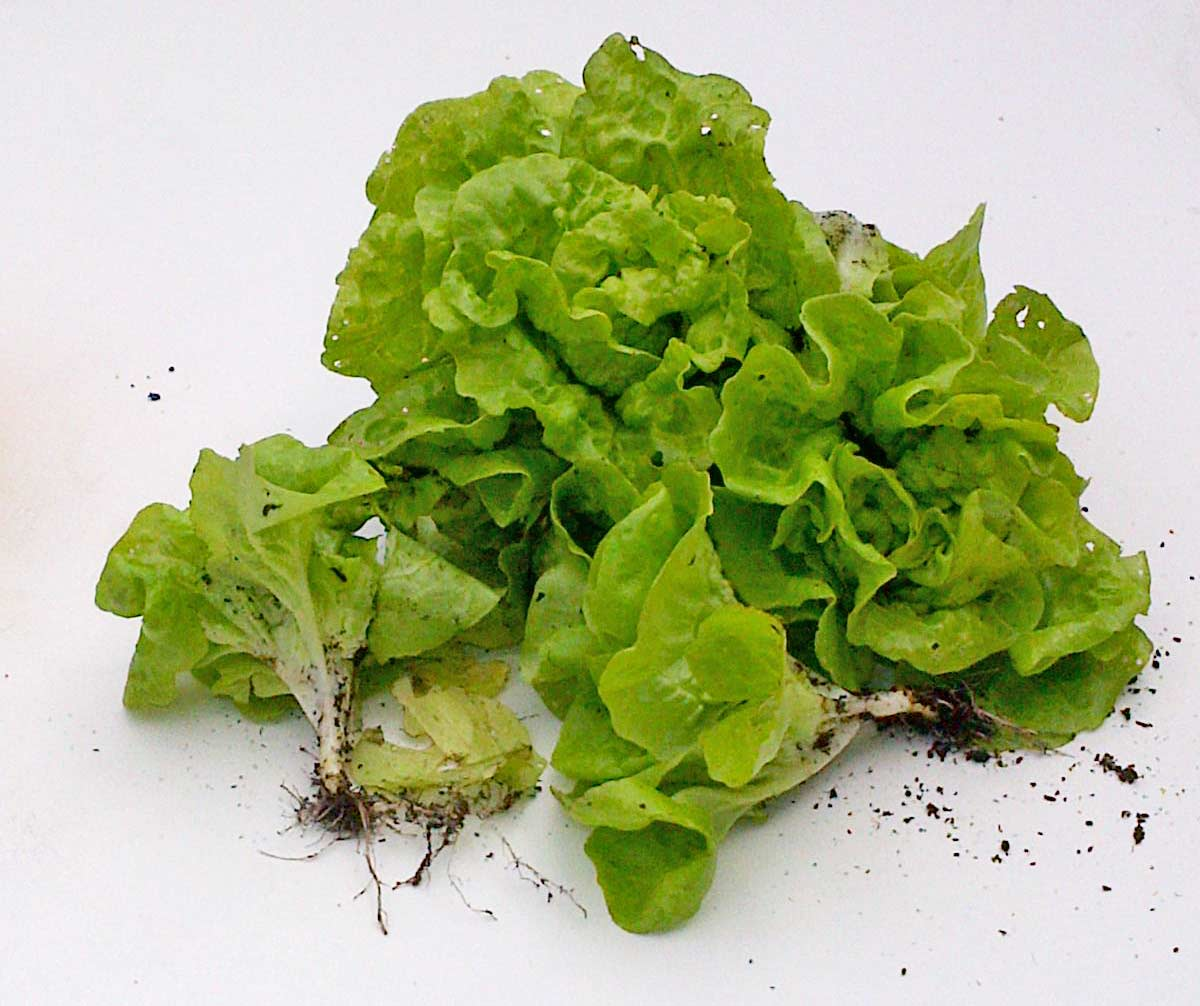 Growing lettuce with kids