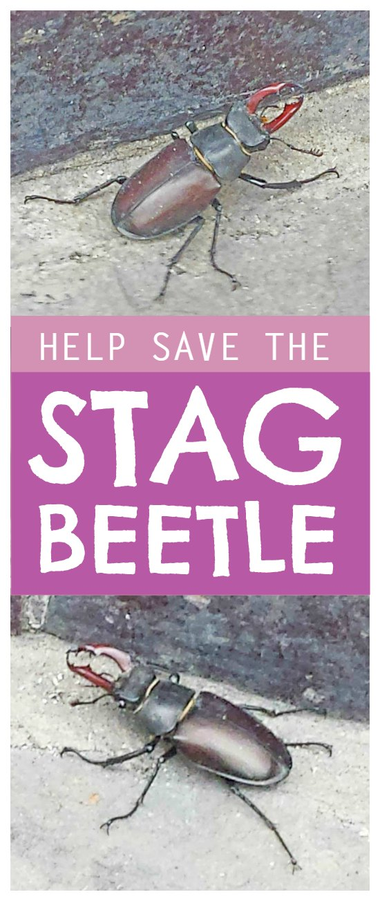 Stag beetle - simple ways to protect the stag beetle and it's amazing transformation story #nature #bugs #lifecycle #naturelover #science #biology