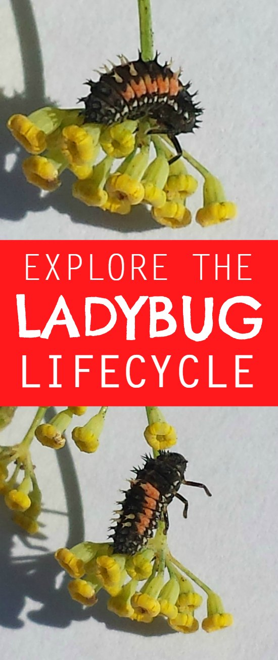 ladybug lifecycle - explore the ladybug lifecycle from larvae through pupation
