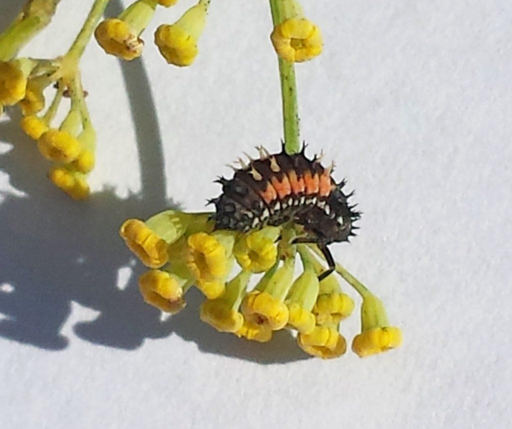 Ladybird larva - baby ladybug before pupating
