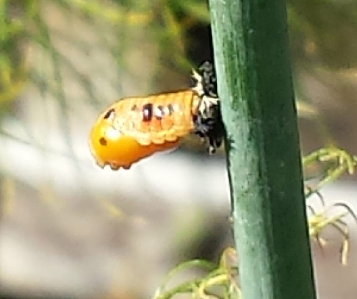 Ladybird pupating - pupating ladybug larva