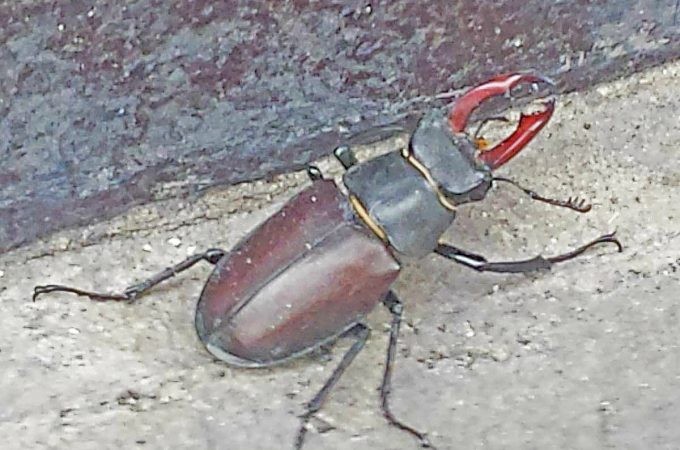 Stag beetle in Herne Hill