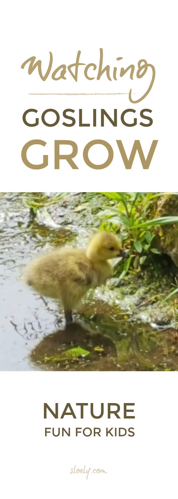 Watching goslings grow is a wonderful opportunity for children to observe and journal growth in young animals #nature #naturejournal #naturelover #birds #science #STEAM