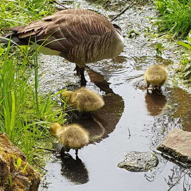 Canada goose goslings -observing canada geese goslings grow in the wild with kids