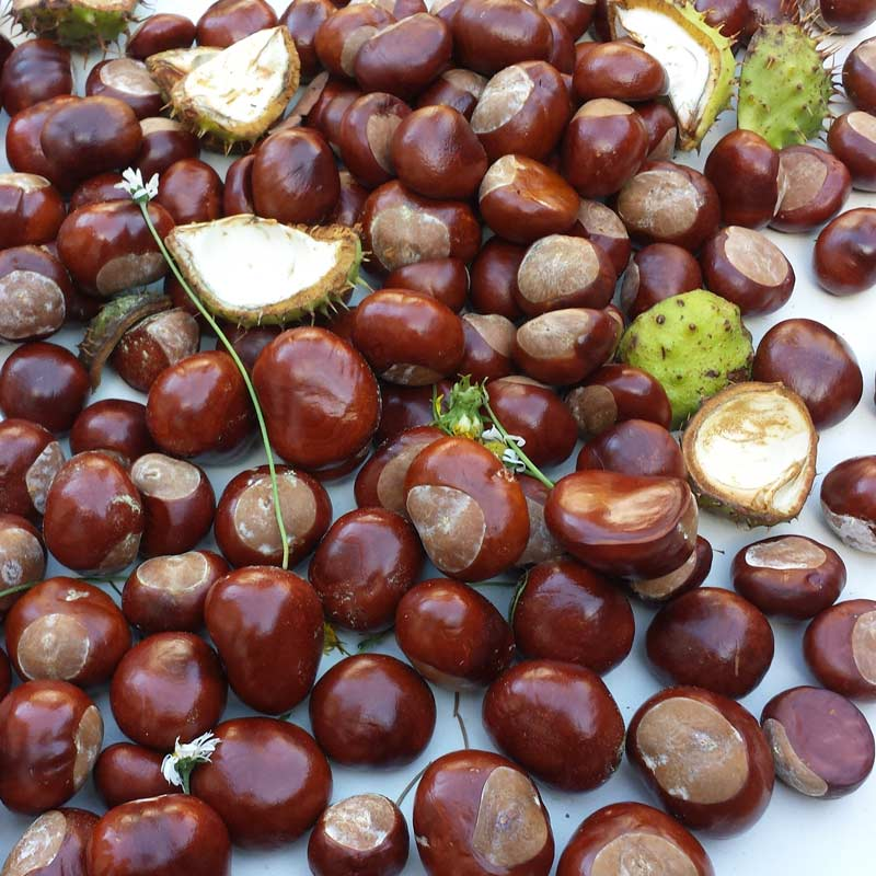 Horse chestnut trees are loved by children for their conker brown nuts but are actually up to all sorts of clever stuff throughout the year and provide a wonderful opportunity for children to observe close up the lifecycle of trees.