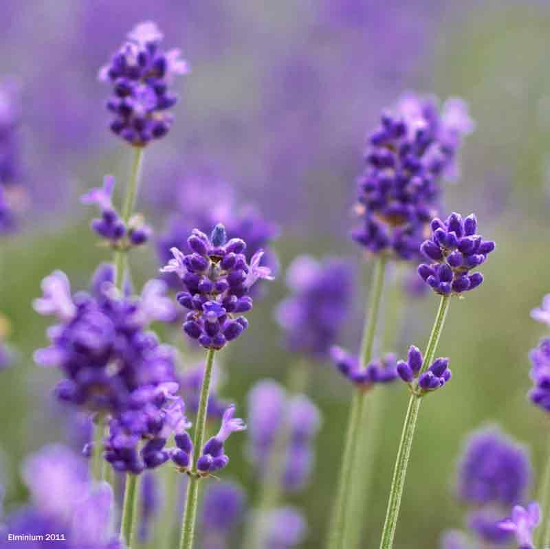 Lavender harvest Carshalton