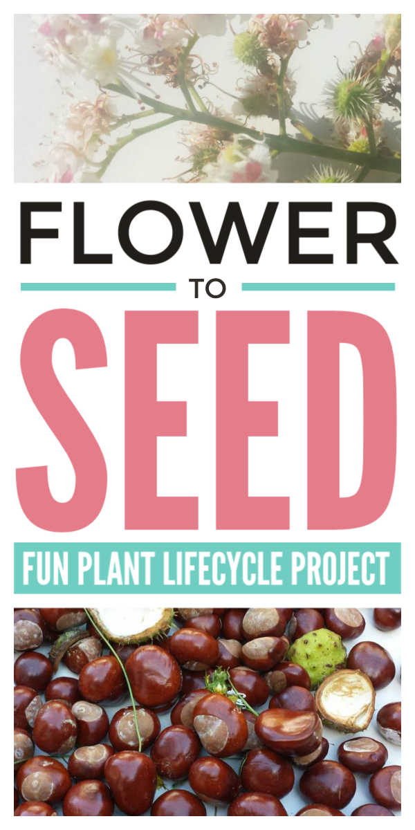 Seed activities for kids - a fun plant life cycles project to support children learning the biology and plant science of pollination through spring and fall. Suitable for homeschool and classroom lesson plans for preschool and kindergarten children and middle school students #seeds #biology #lifecycles #botany #homeschool #kindergarten #preschoolers #scienceforkids #lessonplan #eyfs