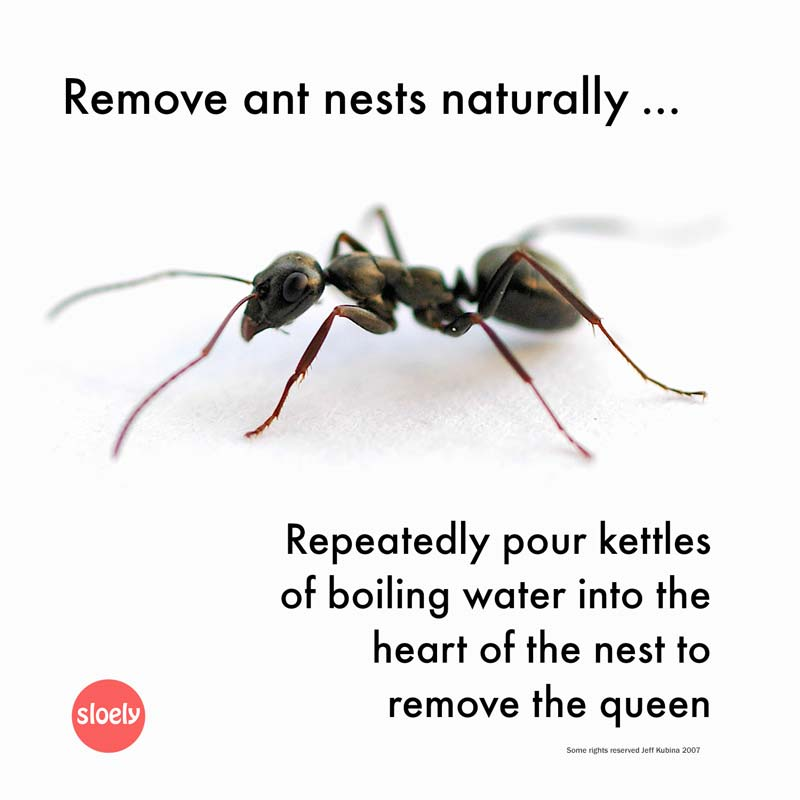 How to get rid of ants naturally without using toxic poisons