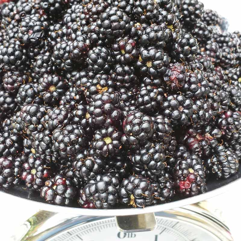 Blackberrying tips - everything you need to know about picking blackberries with kids