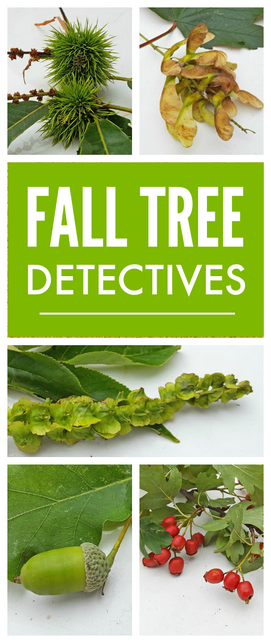 Autumn Tree Detectives - encourage children to observe all the different types of seeds and nuts and berries that grow on our trees in Fall and all the different ways they propogate themselves