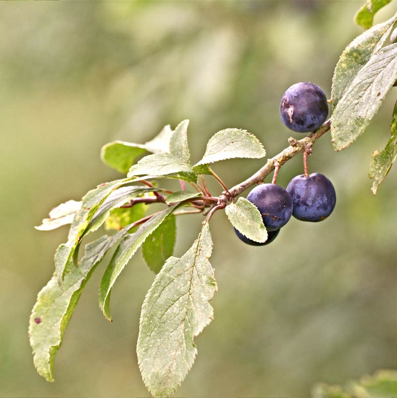Foraging with kids - simple safety tips for foraging with kids including best fruit and nuts to pick