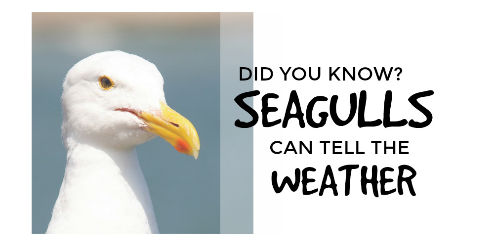 Seagulls Can Tell The Weather
