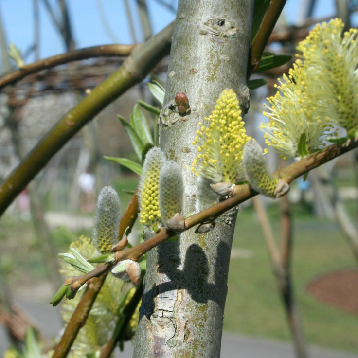 Simple ways to explore catkins with kids and help them understand how they are pollinated so the tree grows new seeds and fruit #nature #plants #trees #pollination
