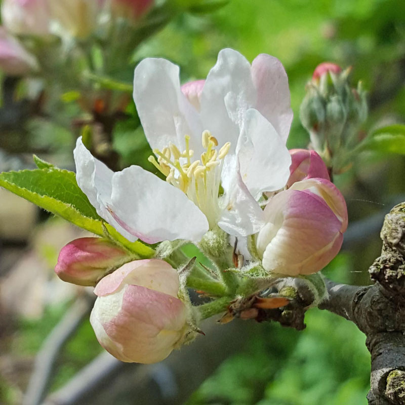 Enjoying blossom with kids - simple ways to enjoy the spring blossom and discover how it helps pollination and the growth of new seeds and fruit on a tree  #blossom #trees #nature #naturelover #pollination #plantscience