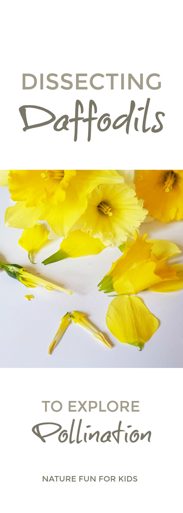 Dissecting Daffodils How to simply dissect daffodils with children to help them understand the parts of the flower, what happens during pollination and discover the secret eggs hidden inside the daffodil that are waiting to be pollinated #daffodils #flowers #pollination #nature #naturestudy #naturelover #STEAM #plantscience #primaryscience