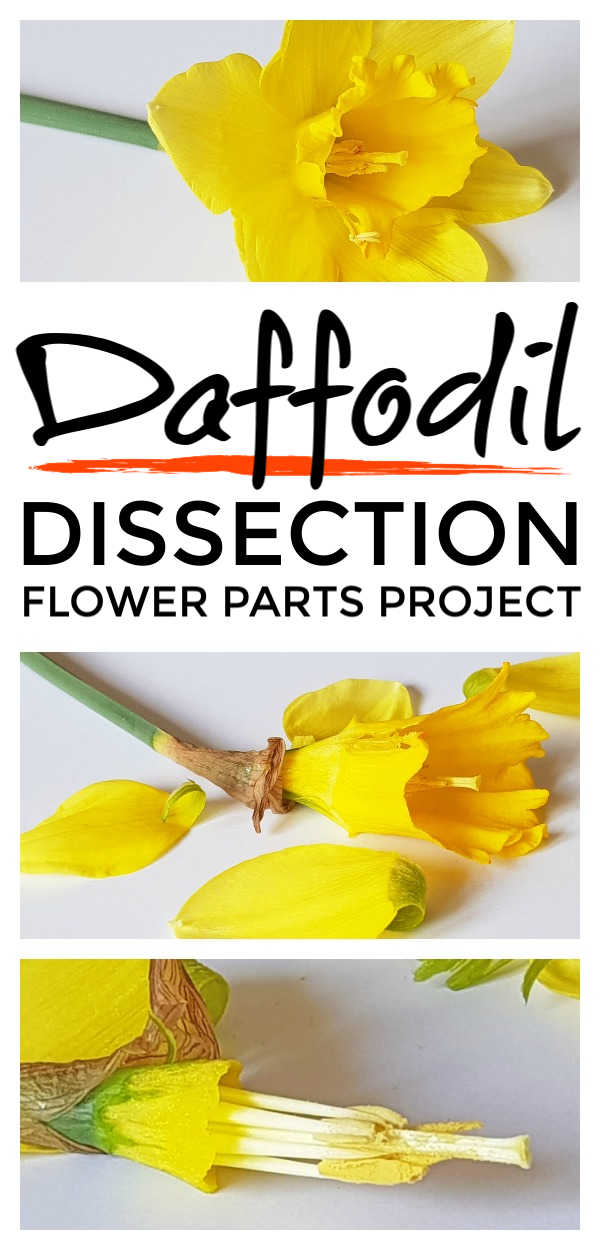 Flower parts - awesome flower parts project activity for kids that helps them understand the plant science of pollination and the plant lifecycle with simple daffodil dissection. A lovely learning opportunity for children from preschool and kindergarten through 2nd Grade #pollination #naturestudy #eyfs #scienceforkids #scienceexperiments #science #kidsactivities #kidsactivity #stem #stemactivities