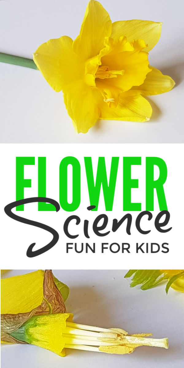 Flower science experiment for kids - a fun spring activity for learning about plant lifecycles, flower parts and pollination. Simple hands on STEM project suitable from preschool to Kindergarten and second grade #pollination #naturestudy #eyfs #scienceforkids #scienceexperiments #science #kidsactivities #kidsactivity #stem #stemactivities #spring #springactivities