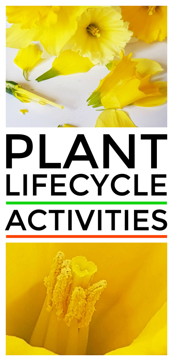 Plant lifecycle activity for preschool, kindergarten and first grade kids to learn flower parts and pollination. Simple daffodil cutting also great for fine motor skills #pollination #naturestudy #eyfs #scienceforkids #scienceexperiments #science #kidsactivities #kidsactivity #stem #stemactivities #flowers #spring #springactivity