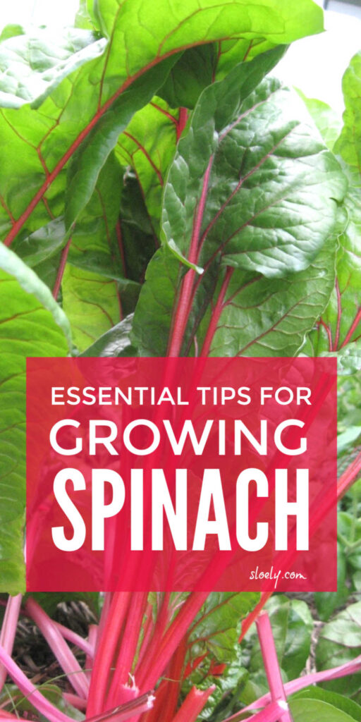Growing Spinach Tips