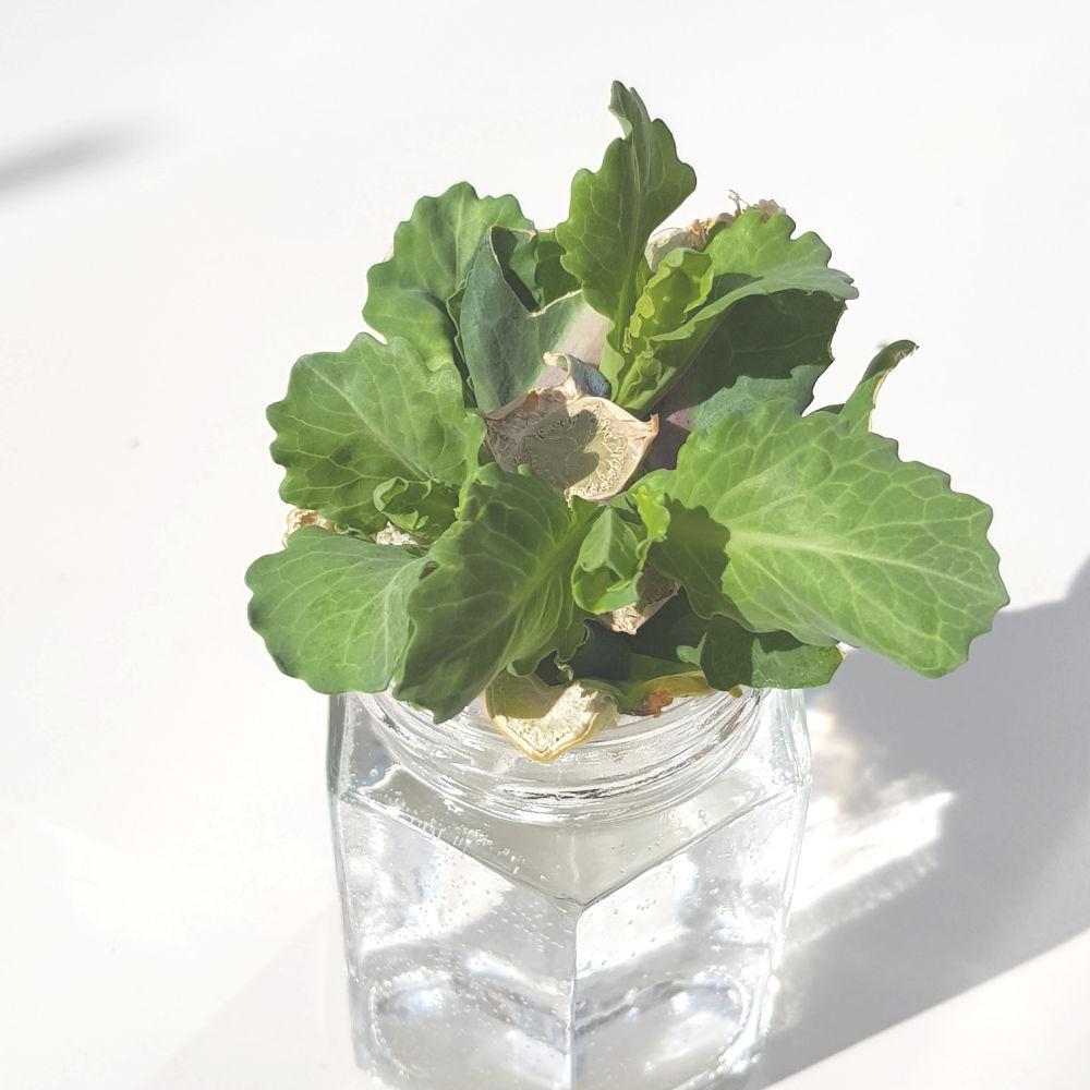 Growing Vegetables From Scraps