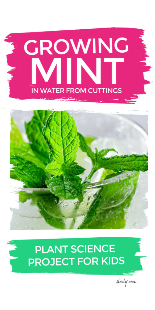 Growing Mint Clippings Plant Science Project For Kids
