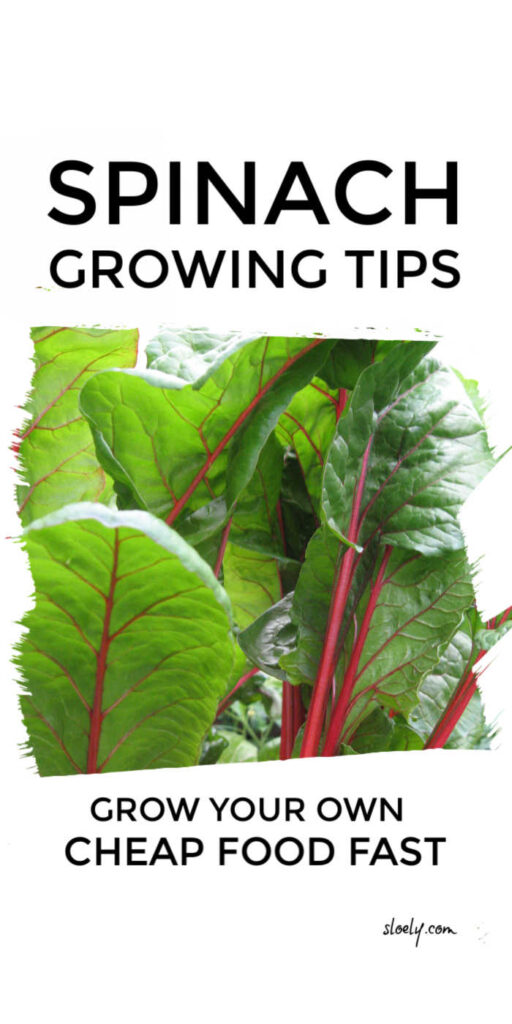 Grow Your Own Spinach For Cheap Food