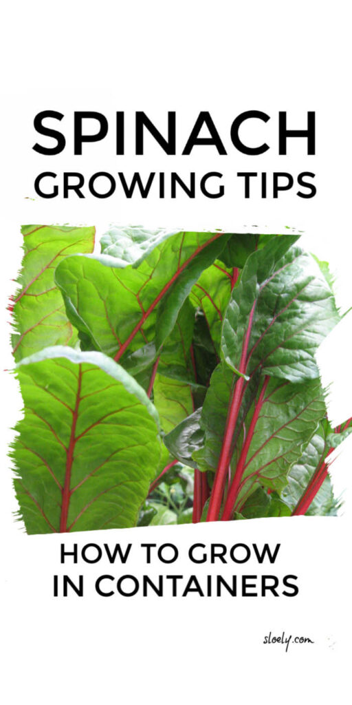 Spinach Growing Tips