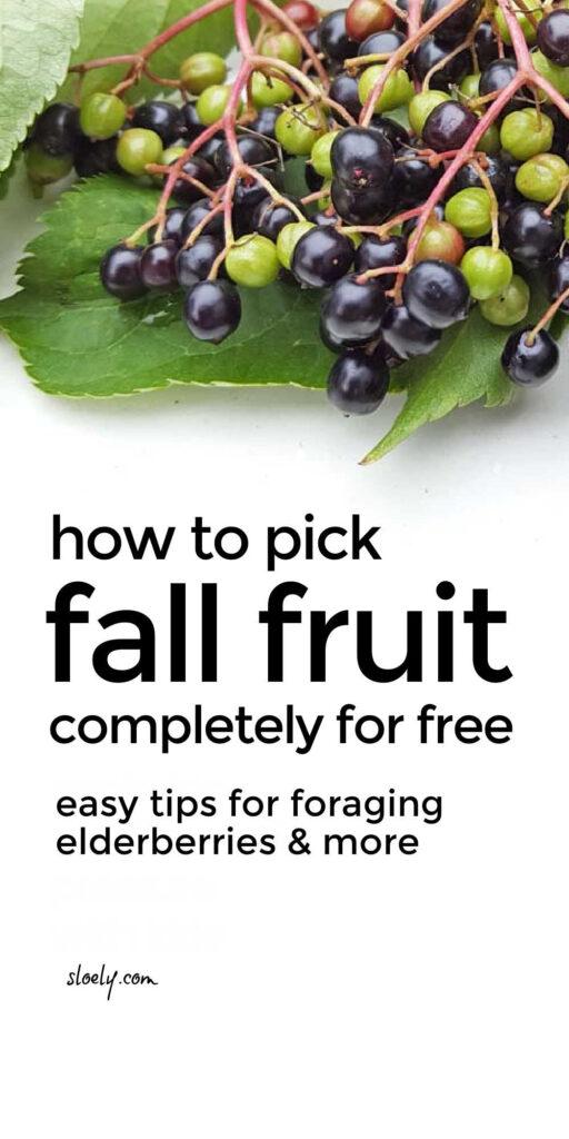 Picking Elderberries For Free