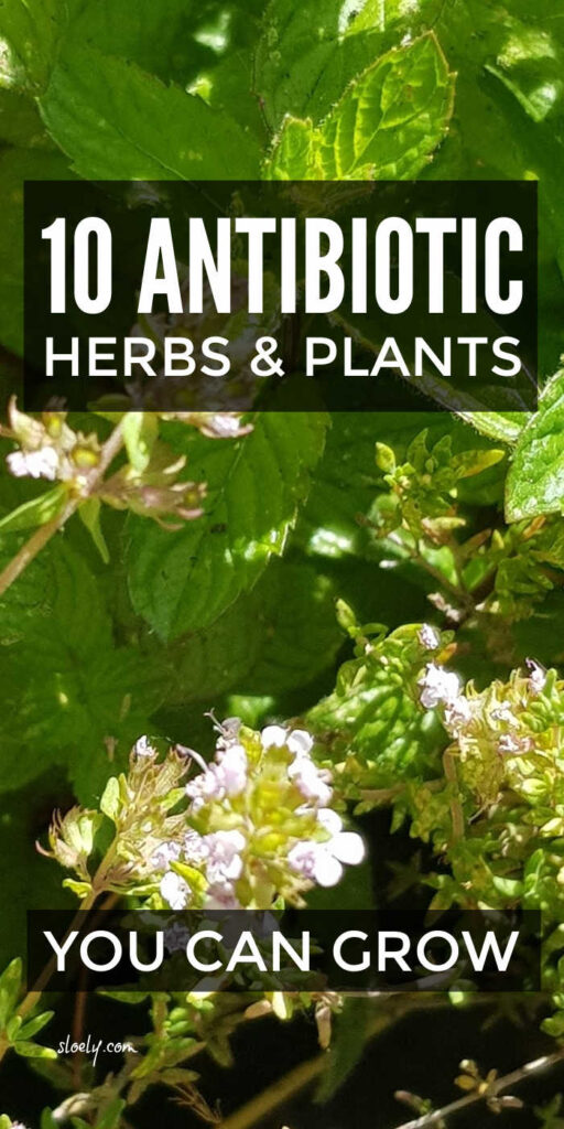 Naturally Antibiotic Herbs & Plants To Grow In Your Garden