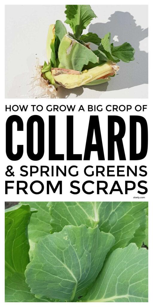 Growing Collard Greens From Scraps