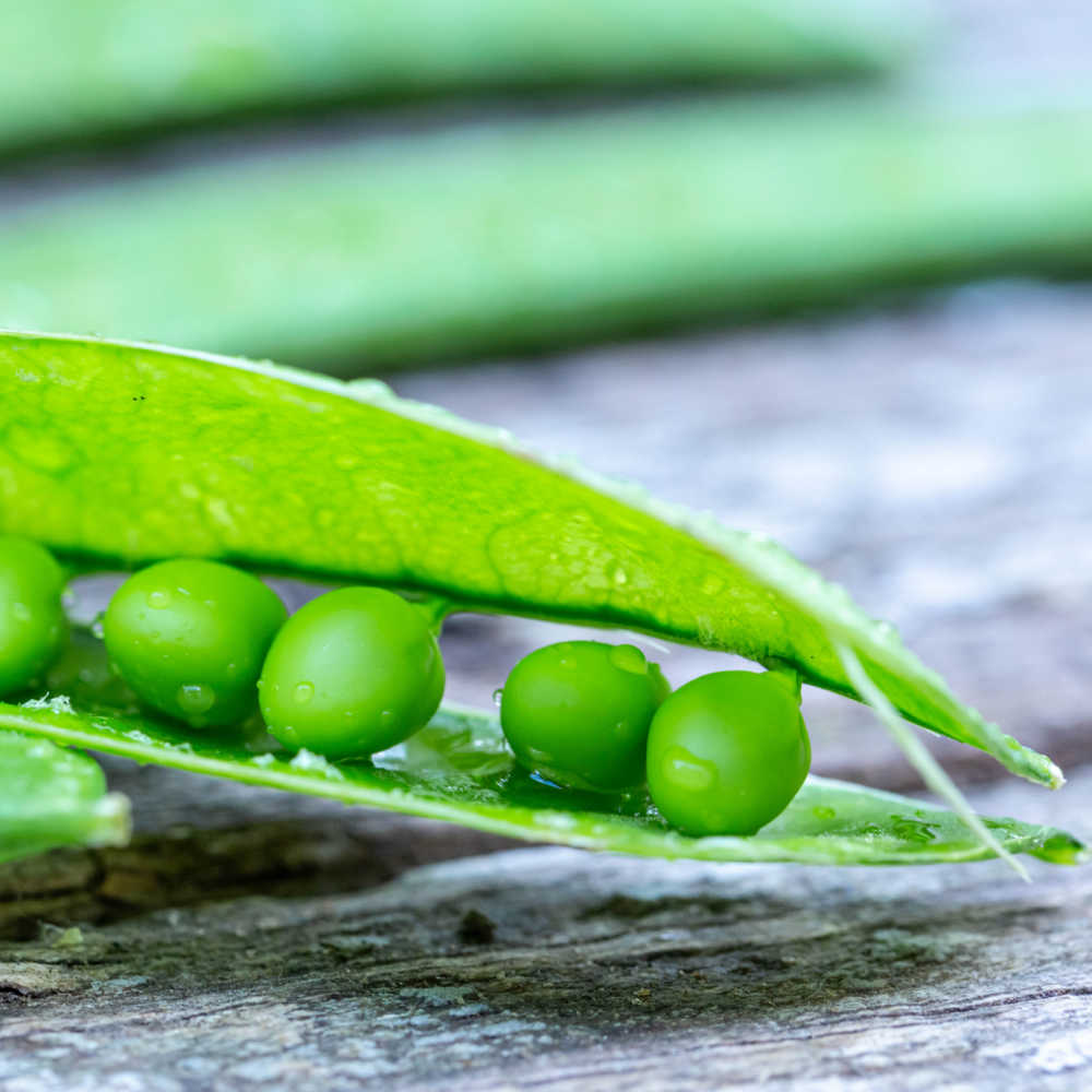 Growing Garden Peas Successfully Organically