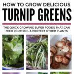 Growing Turnips & Cime Di Rapa