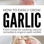How To Grow Garlic Easily From Cloves
