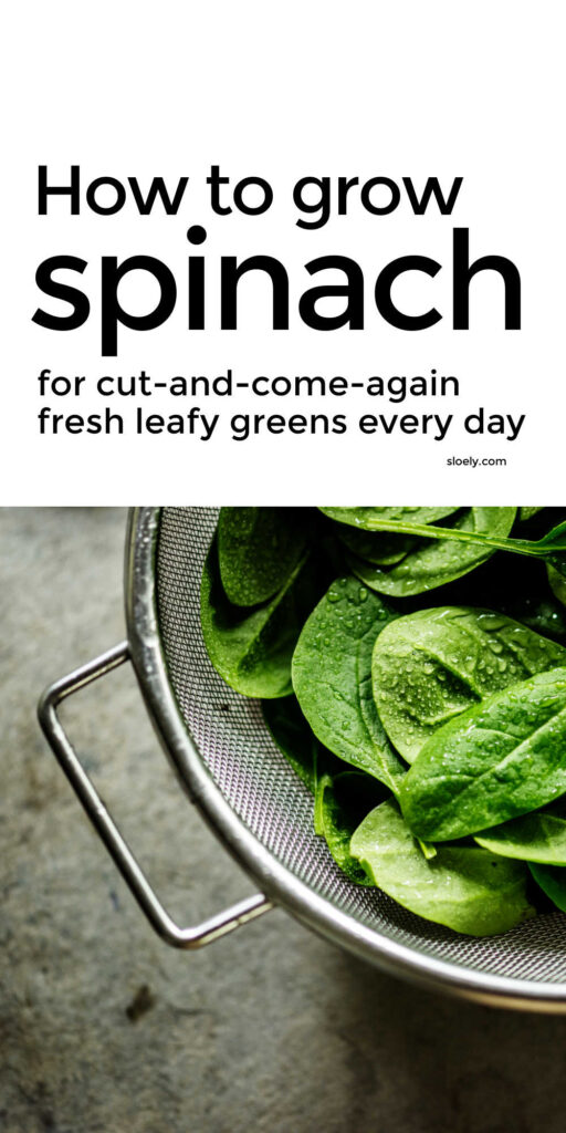 How To Grow Spinach Tips