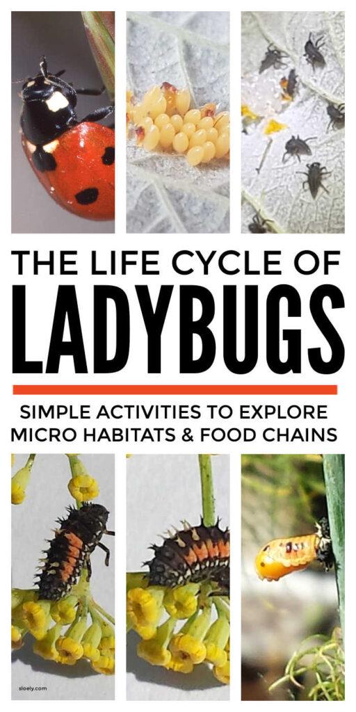 Life Cycle Of Ladybugs