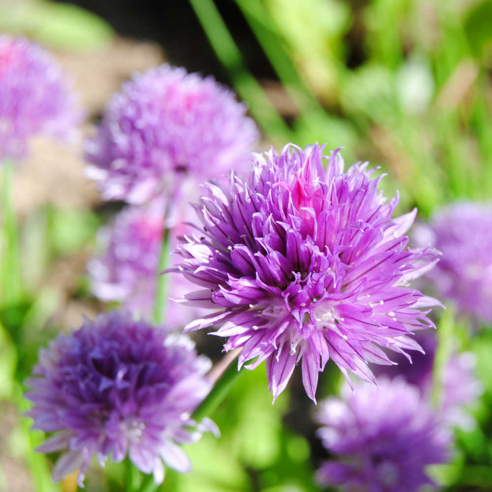Growing Chives As Companion Plants
