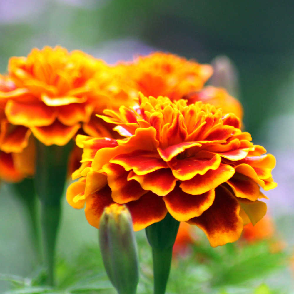 Growing Marigolds As Organic Pest Control