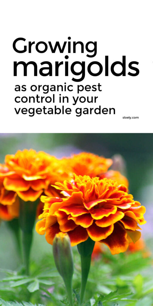 Growing Marigolds To Control Pests Organically