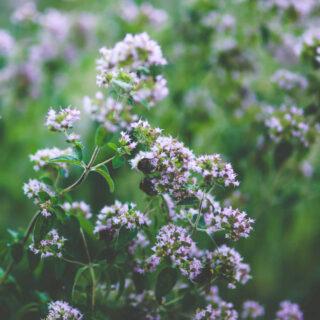 How To Grow Oregano For Medicine