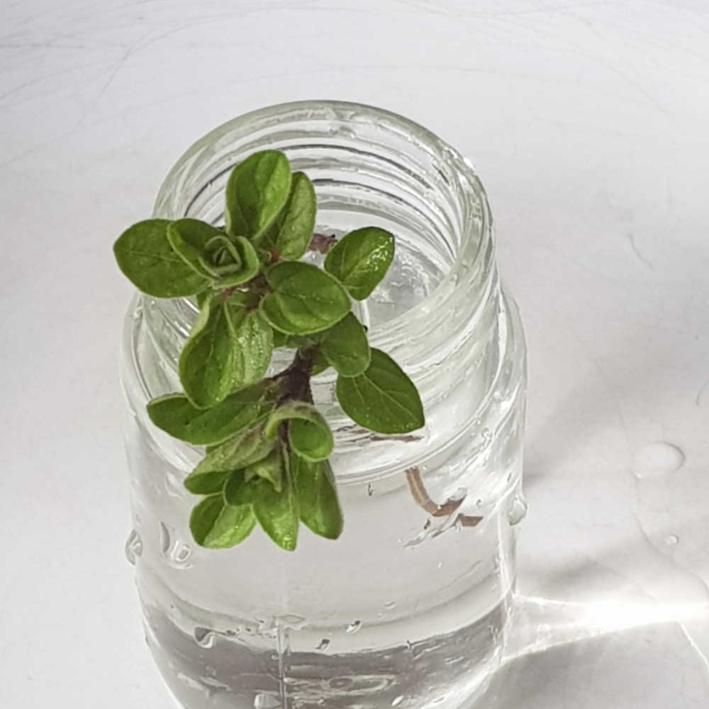 How To Grow Oregano From Cuttings