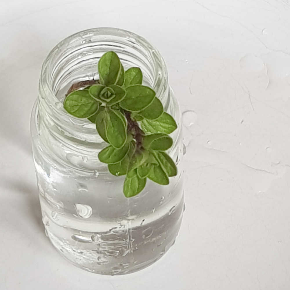 How To Grow Oregano In Water