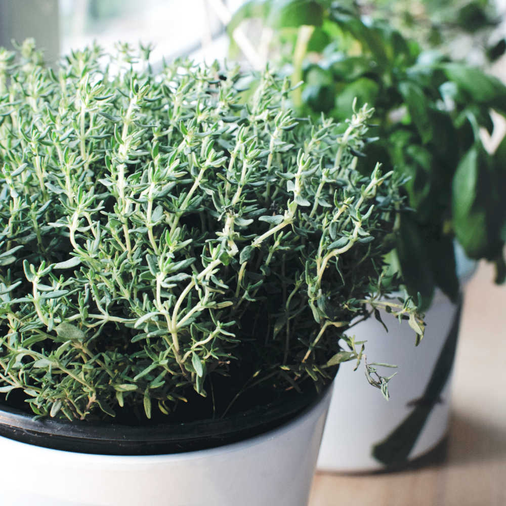 How To Grow Thyme From Cuttings And Seed