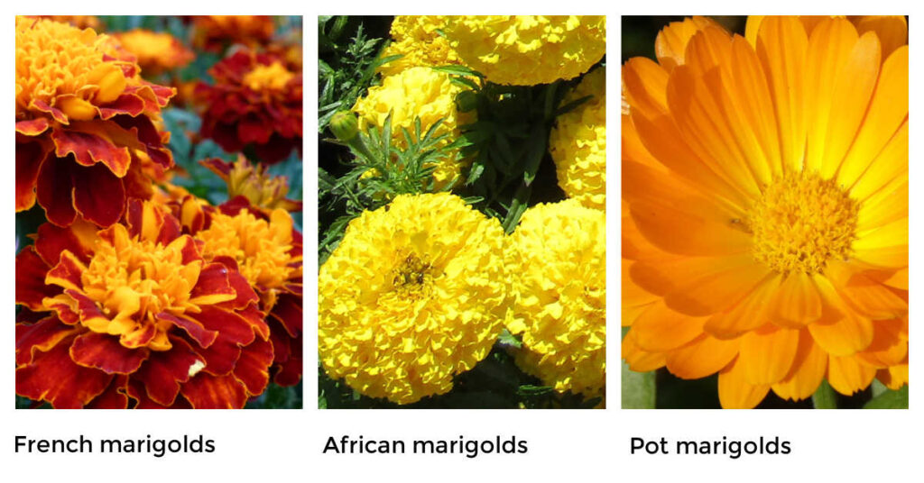 Marigold Varieties For Organic Pest Control