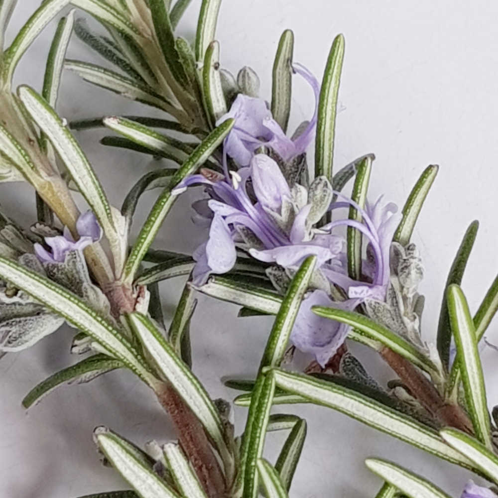 Growing Rosemary From Cuttings - Watering