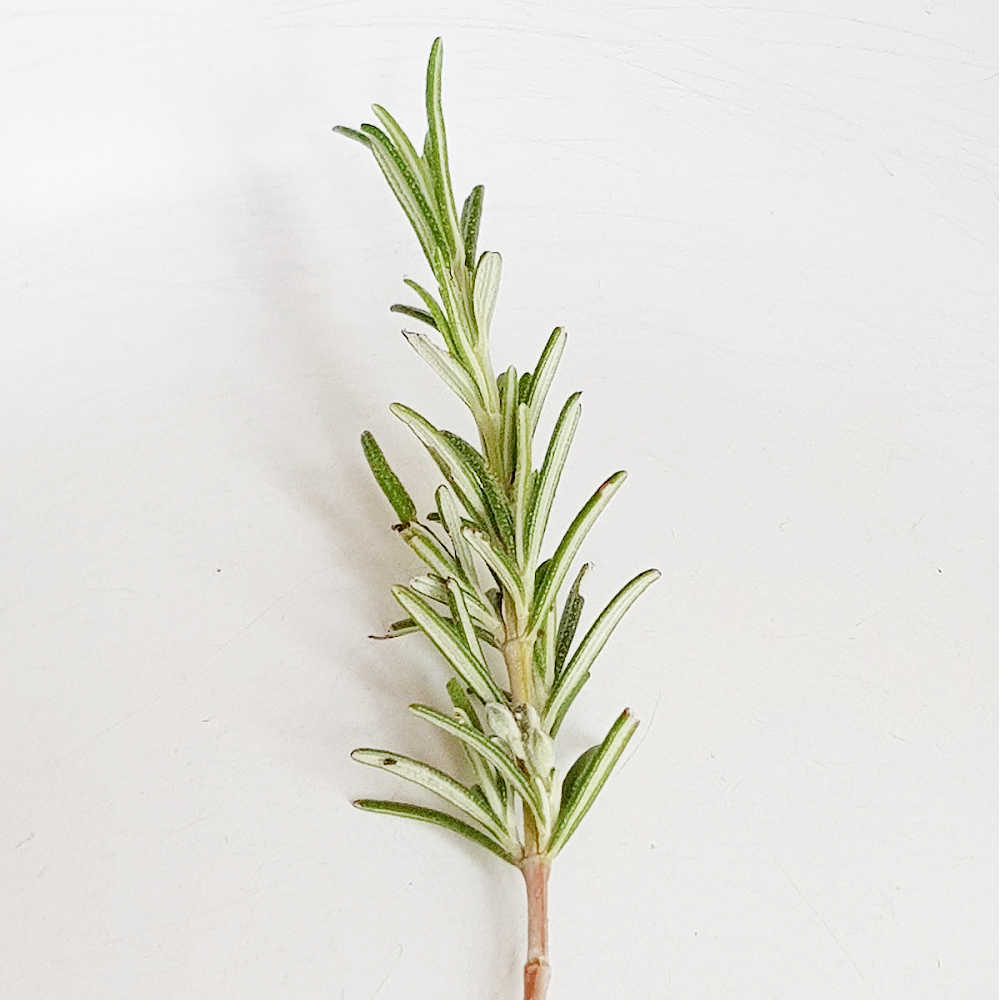 Growing Rosemary From Cuttings In Water